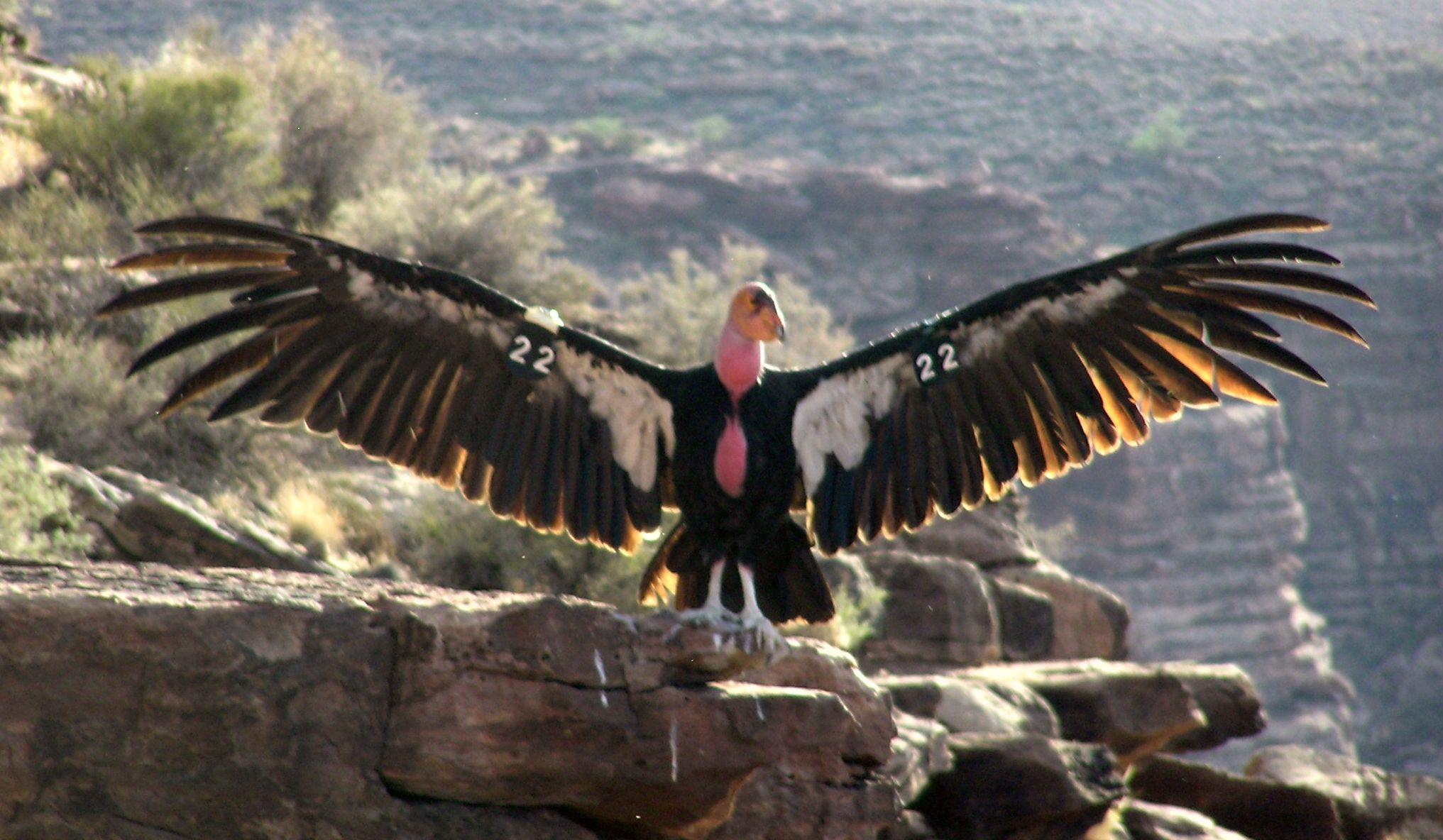 Condor Bird Chasing A Wolf Condor size co | Gas Station ...
