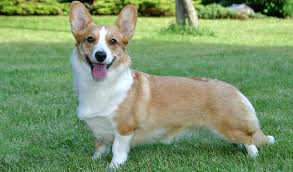 Getting To Know The Cardigan Welsh Corgi Honden