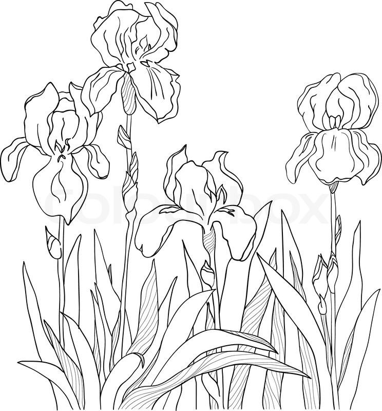 Iris Vector Colourbox Flower Line Drawings Flower Drawing Iris Drawing