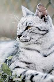 Black And White Striped Cats Google Search Pretty Cats Cats Animals