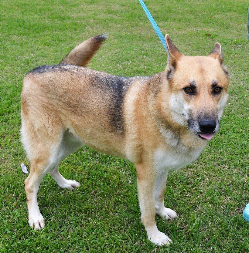 German Shepherd Dog Dog For Adoption In New Iberia La Adn 517345
