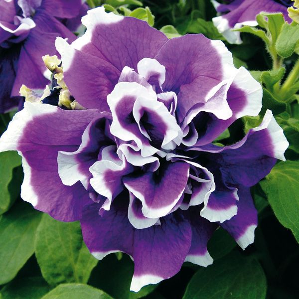 p tunia surfinia double retombant violet bord de blanc jardin pinterest p tunias annuel. Black Bedroom Furniture Sets. Home Design Ideas