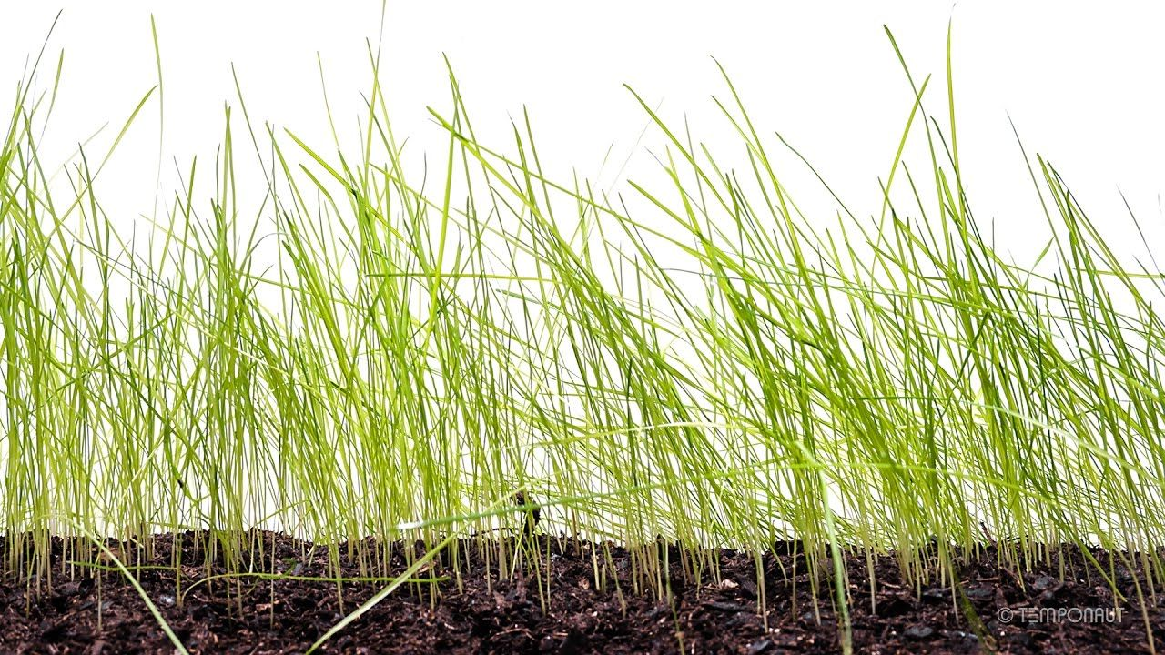 Grass Seed Germination And Grass Growing Time Lapse Growing Grass Grass Seed Seed Germination