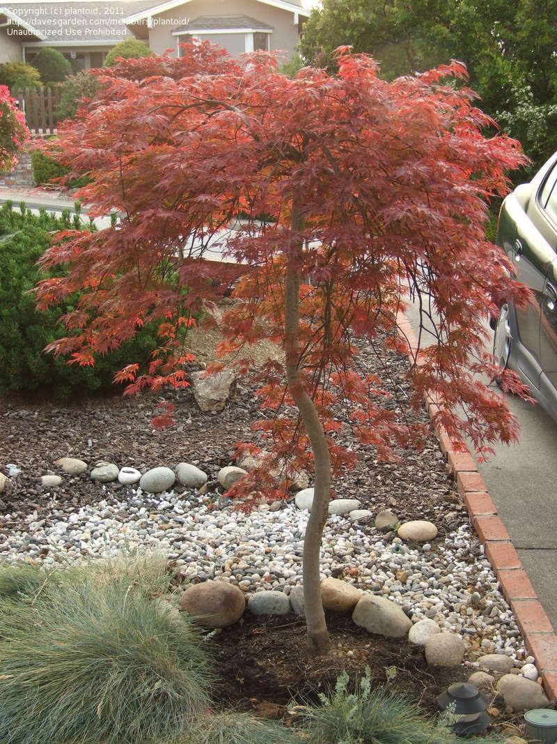 Full Size Picture Of Cutleaf Japanese Maple Threadleaf Japanese