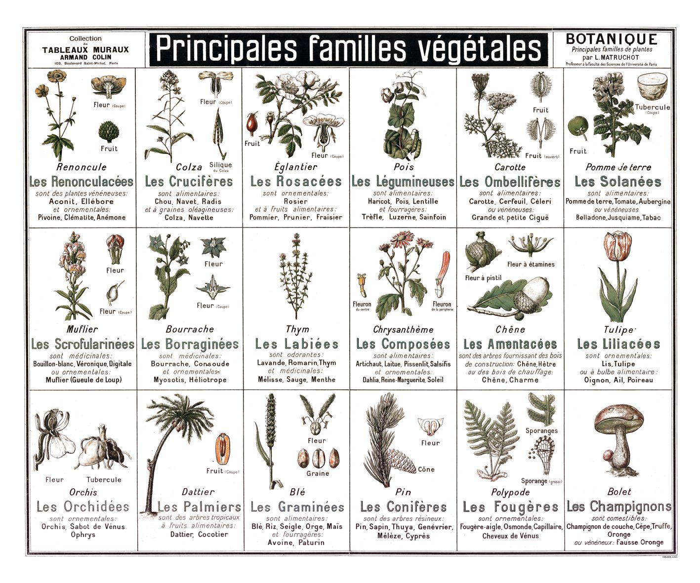 tableau botanique principales familles v g tales reproduction poster plantes sauvages. Black Bedroom Furniture Sets. Home Design Ideas