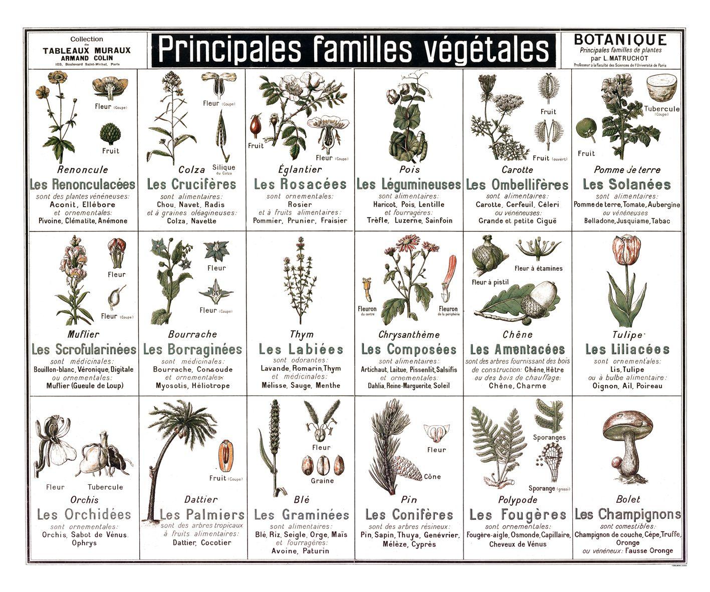 Tableau botanique principales familles v g tales for Les plantes