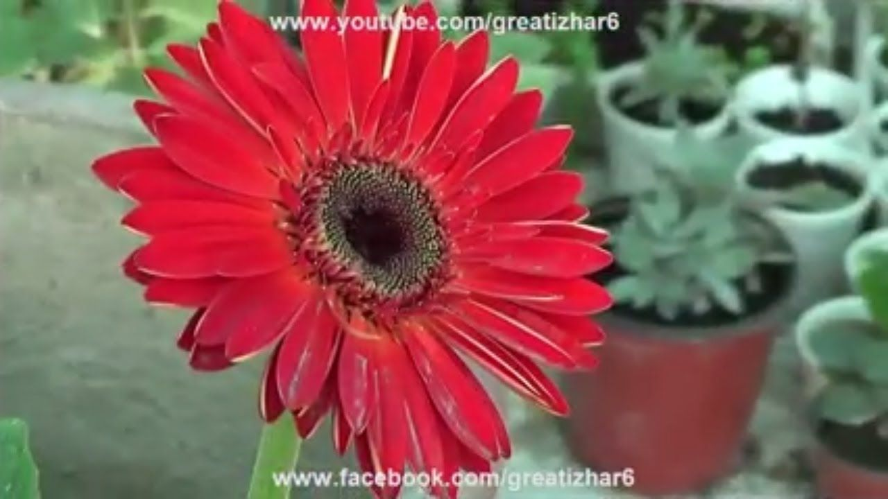 Pin By Izhar Ahmad On How To Grow Plants At Home Gerbera Plant Gerbera Flower Planting Flowers