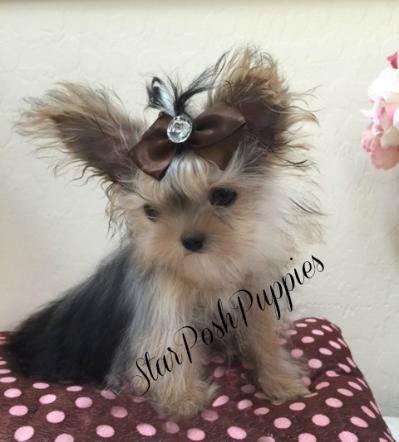 Tiniest Micro Teacup Puppies For Sale Online Teacupspomeranian Teacup Puppies For Sale Puppies For Sale Micro Teacup Puppies