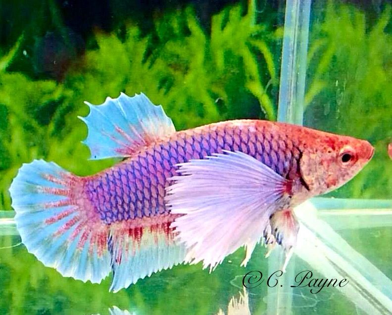 Betta fish facts betta butterfly and betta fish purple butterfly halfmoon dumbo ear female betta c payne sciox Image collections