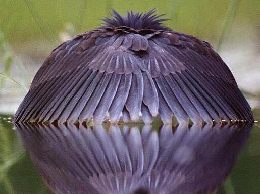 L'aigrette ardoisée est renommée pour sa posture de pêche caractéristique. Elle marche lentement ou rapidement dans l'eau peu profonde, puis déploie et ramène ses ailes vers l'avant, souvent au-dessus de sa tête.  Elle ressemble alors à une petite ombrelle noire glissant sur l'eau. Ce manège étrange a pour but d'éviter les reflets du soleil sur l'eau, permettant à l'oiseau de mieux voir les poissons et les proies dont il se nourrit.