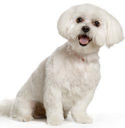 Training Maltese Dog Training Obedience Dog Obedience Dog Training