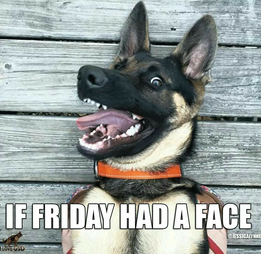 If Friday had a face lol German shepherd dogs, Funny dogs