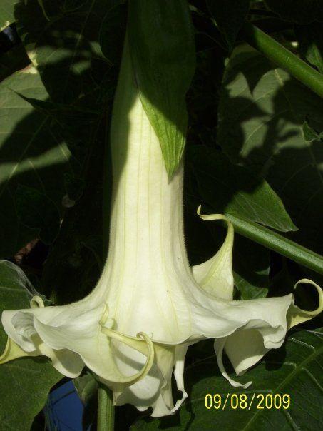 BRUGMANSIA....ANGEL TRUMPET PLANTS