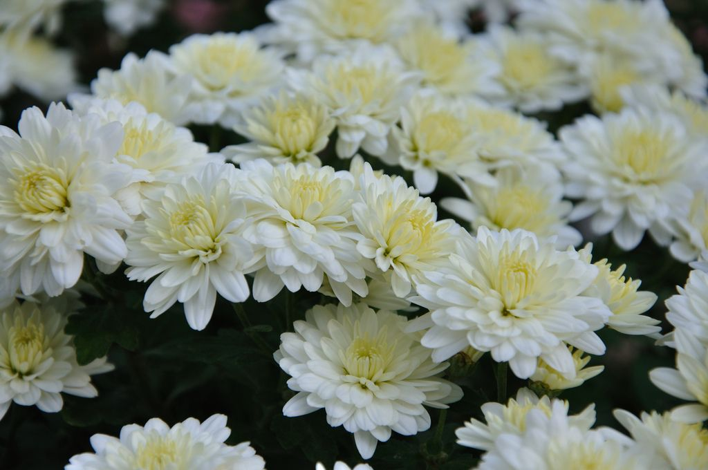 Chrysanthemum google search flowers plants and all things chrysanthemum google search mightylinksfo Choice Image
