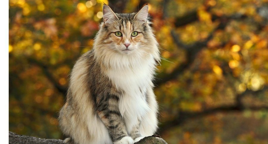 Who Was In America Long Before Columbus It S The Norwegian Forest Cat Norwegian Forest Cat Forest Cat White Cats