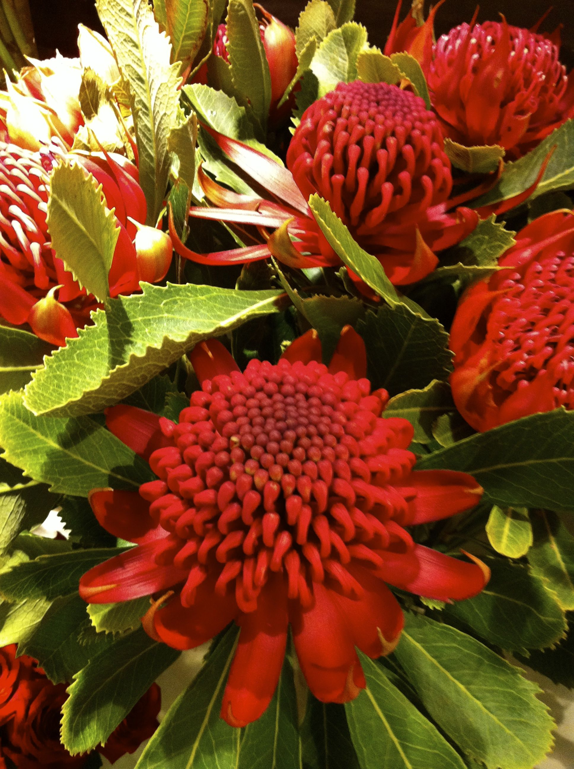 Waratah nsw state flower emblem all things aussie