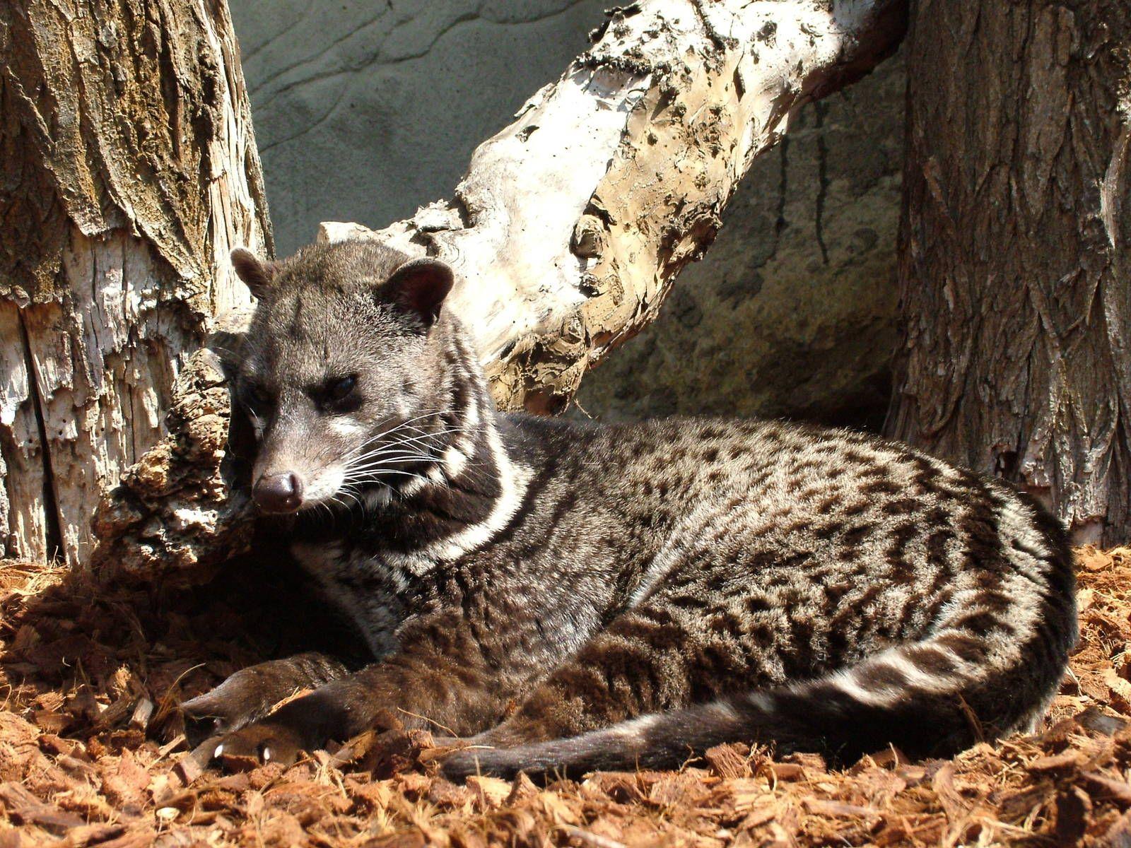 Malaysian Civet Animal facts, Animals, African civet