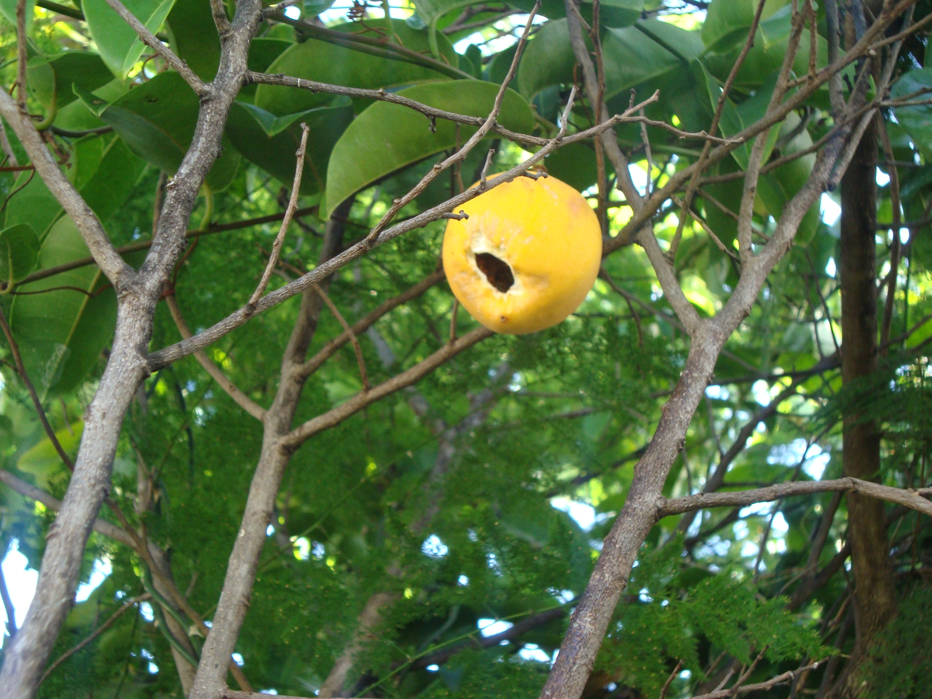 passion fruit tree for sale