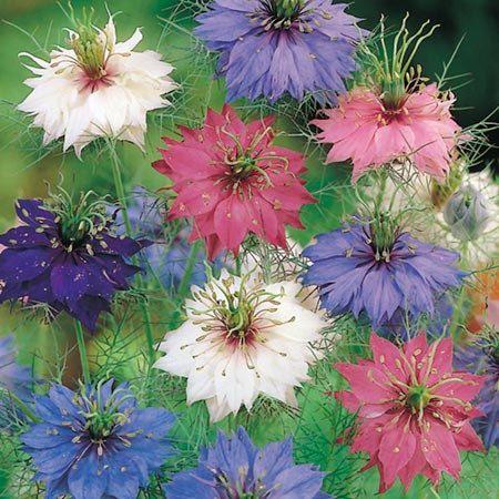 Love In A Mist Flower Seeds Nigella Seeds 50 Seeds Code 200 Flower Seeds Annual Flowers Love Flowers