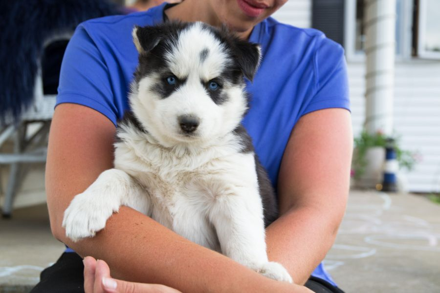 Husky Puppies For Sale Husky Puppy Husky Puppies For Sale Husky