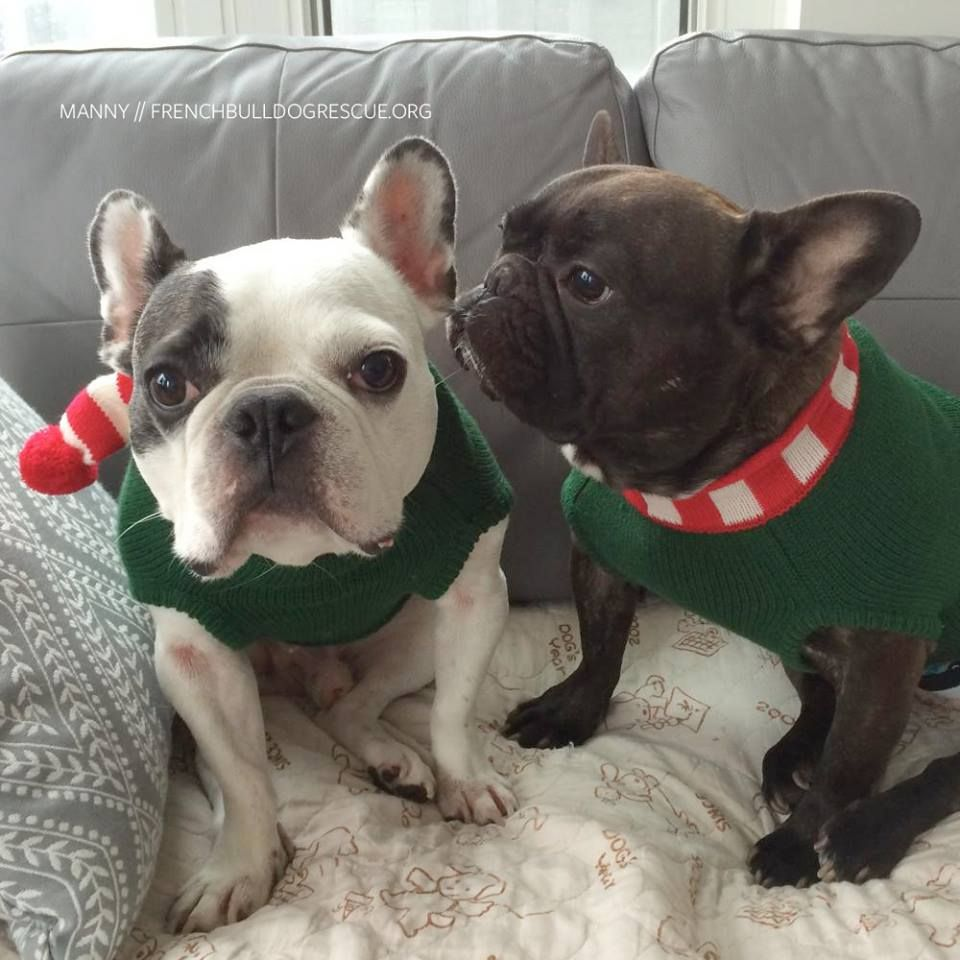 French Bulldogs At Christmas From The French Bulldog French