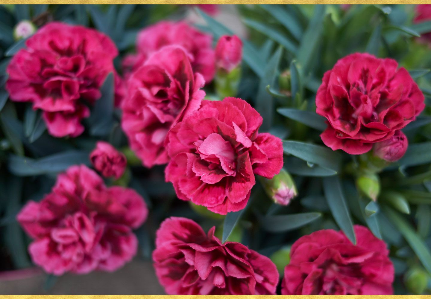 A Guide To Growing Carnations Ftd Com Growing Carnations Flower Garden Care Carnation Plants