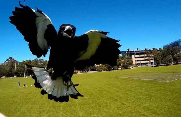 Every year someone loses an eye to one of Australia's most dangerous predators: the magpie.