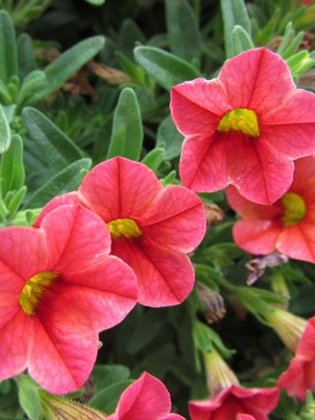 Like a tiny petunia on steroids, calibrachoa (also called million bells) grows and flowers at an amazing rate.