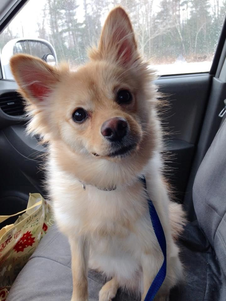 Adopt Cooper On Petfinder Pomeranian Dog Animals Dogs
