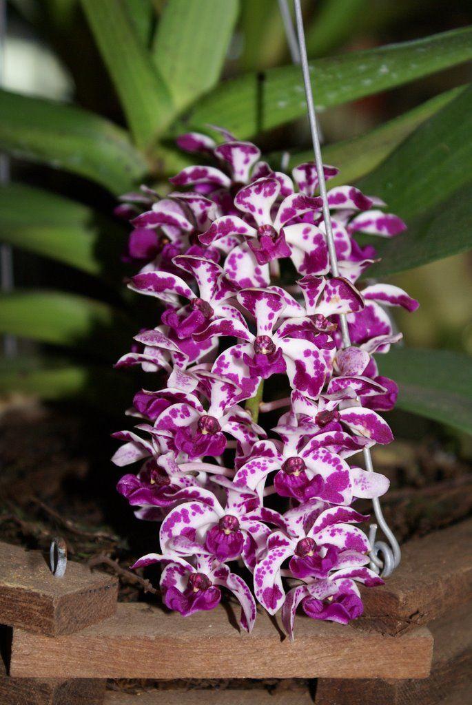 Aerides, comumente conhecido como Gato-cauda orquídeas e orquídeas escova raposa, é um gênero pertencente à família das orquídeas (Orchidaceae) (subfamília Epidendroideae, tribo Vandeae, subtribo Aeridinae). É um grupo de orquídeas epífitas tropicais que crescem principalmente nas planícies quentes da Ásia tropical. Eles são avaliados em horticultura para os seus cachos de vistosas, perfumadas, flores coloridas.