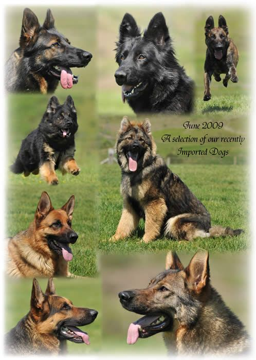 German Shepherd Attack Dogs New Dogs Imported From Germany