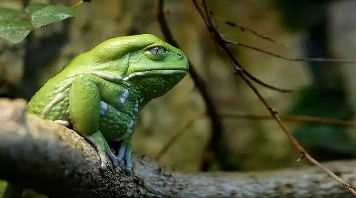 Rana Verde que parece que está enojada #HiddenLeaf