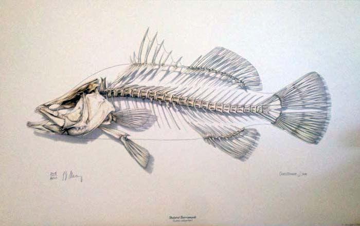 Catfish skeleton