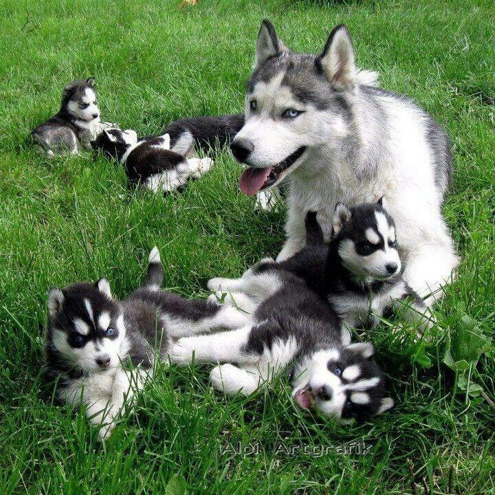 The Husky Family C Cute Animals Puppies Animals