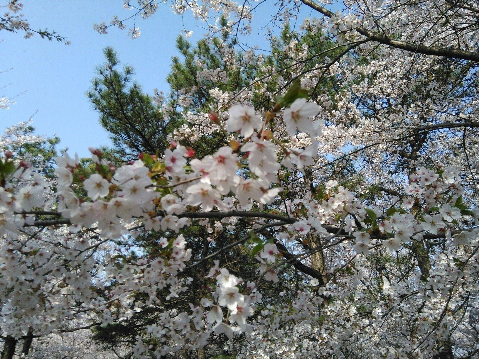 Cherry Blossoms Palawan 5 Cnnph Jpg Cherry Blossom Blossom Puerto Princesa