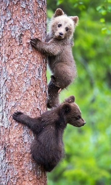 Cheerful bear cubs enjoy to climb the tree in Kainuu, Finland Kuva: MVPhotos.