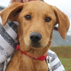 Adopt Kiki On Adoption Labrador Retriever Dog Retriever Dog