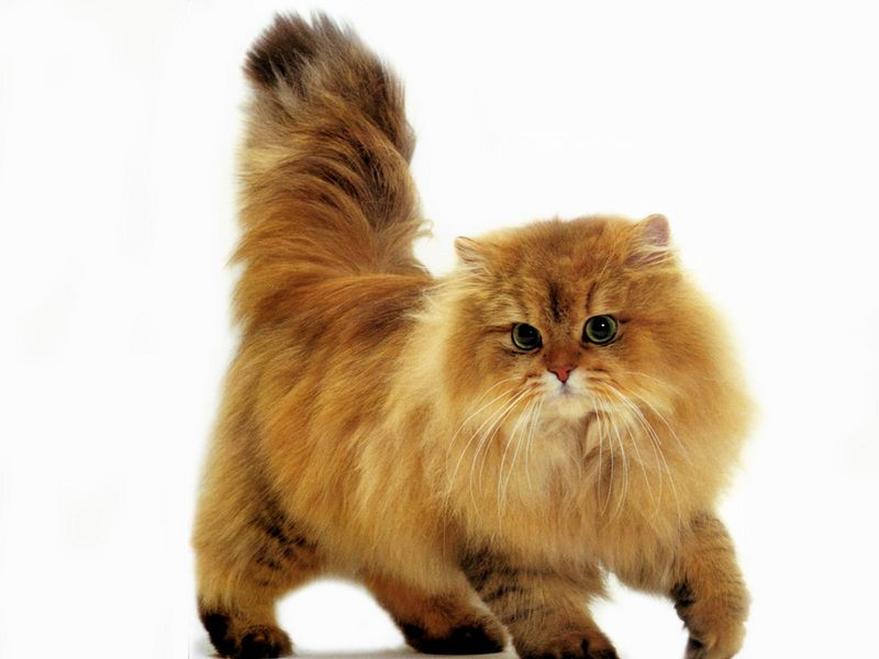 Shaded Golden Persian If I Were To Ever Want To Own A Cat I Would Want This One Pics Of Cute Cats Persian Cat Cute Cats