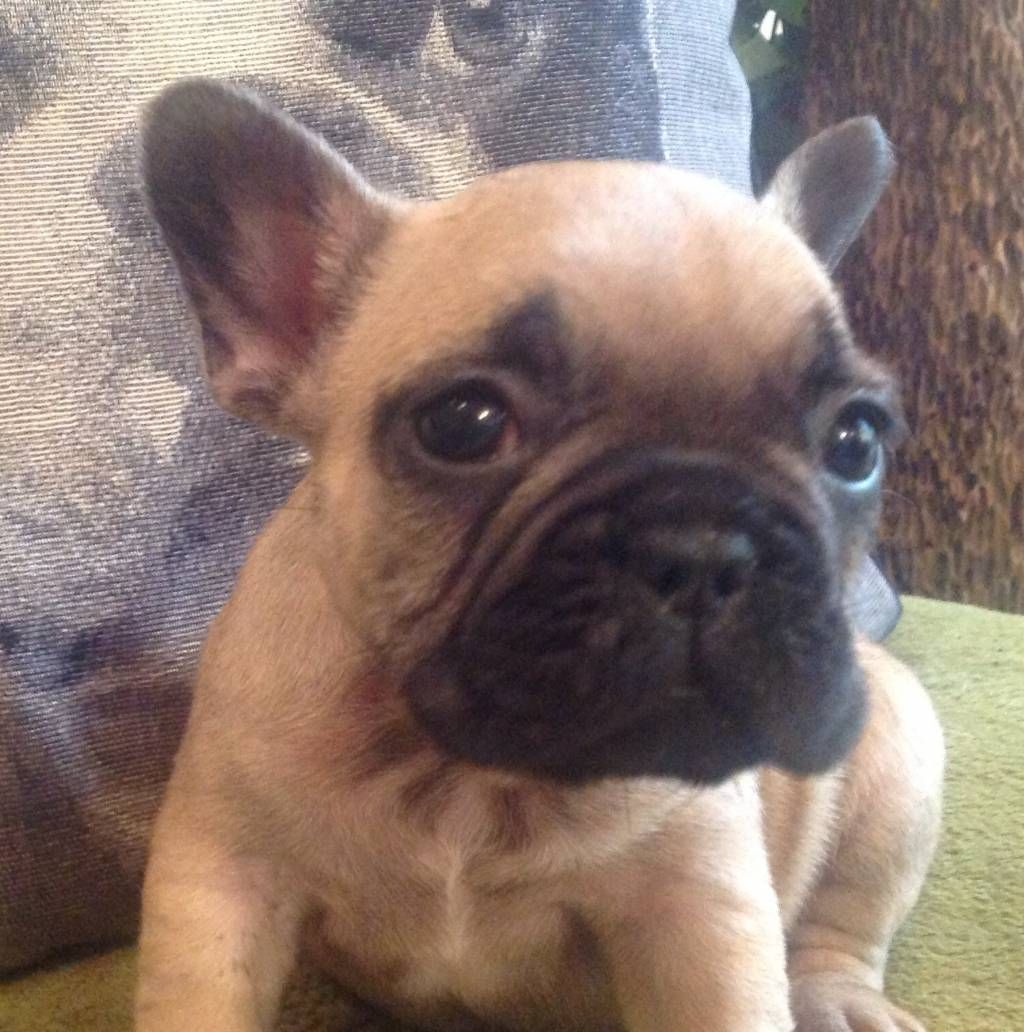 french bulldog puppies Breeders Online View Advert