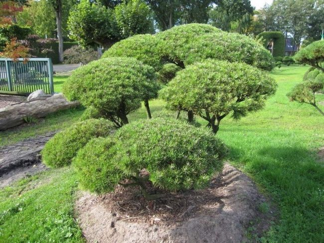 Pinus Mugo Mughus Google Suche