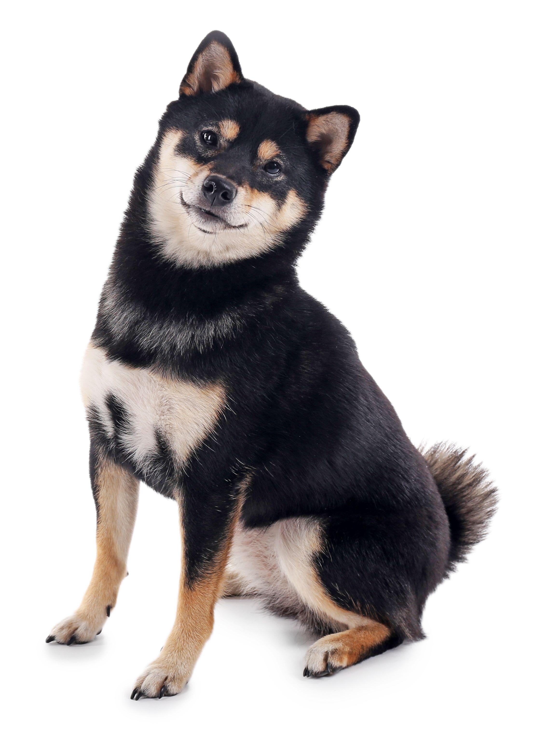 Black And Tan Shiba Inu Shiba Inu Dog Shiba Inu Black Shiba Inu