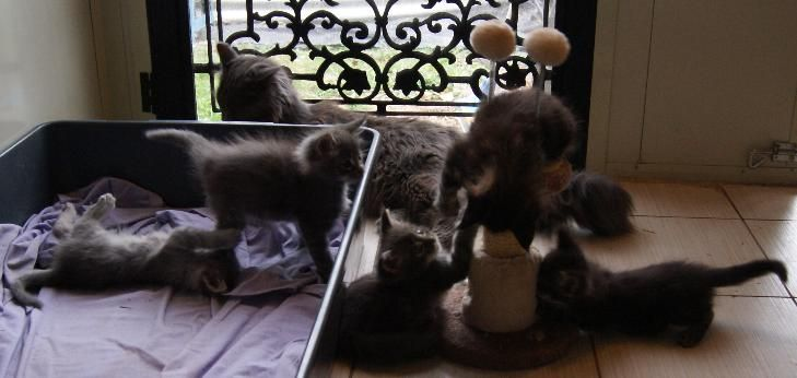 Tommy playing with his siblings. He is to the left of the scratching post (in the middle of the picture).