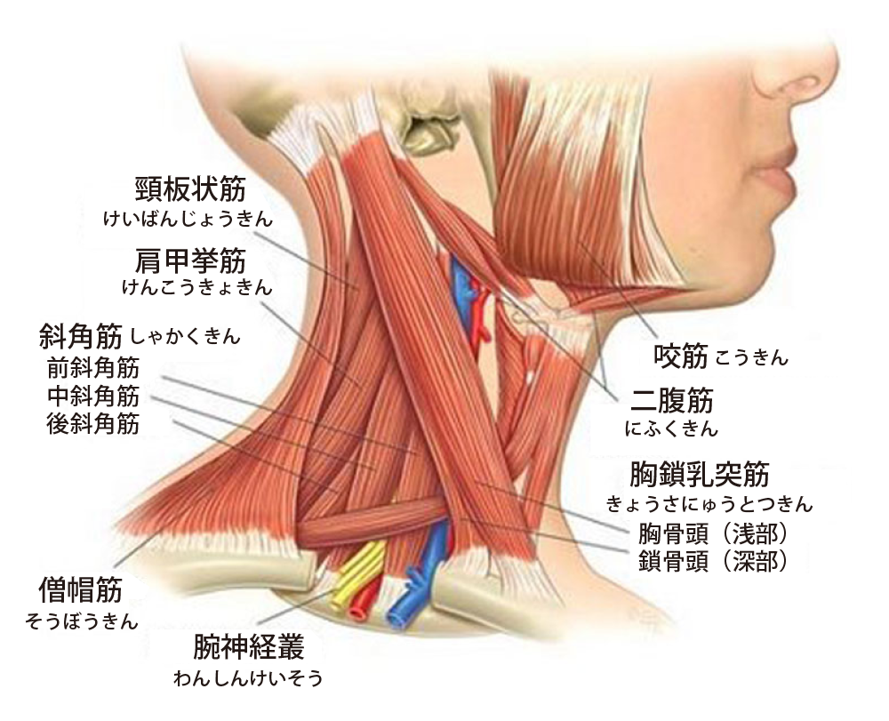 首こりに関係する筋肉 | T | Pinterest | Anatomy, Migraine and Stiff neck