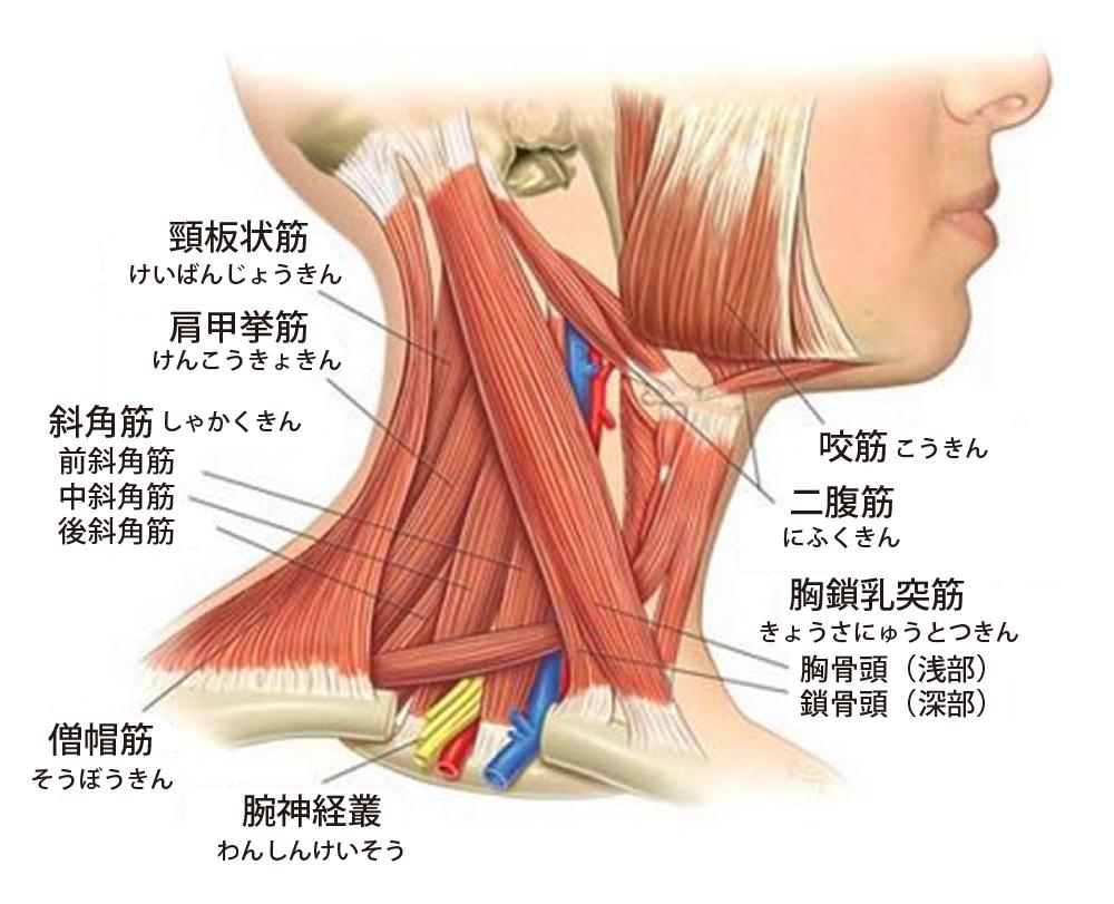 首こりに関係する筋肉 | ヘルス・フィットネス | Pinterest | Anatomía