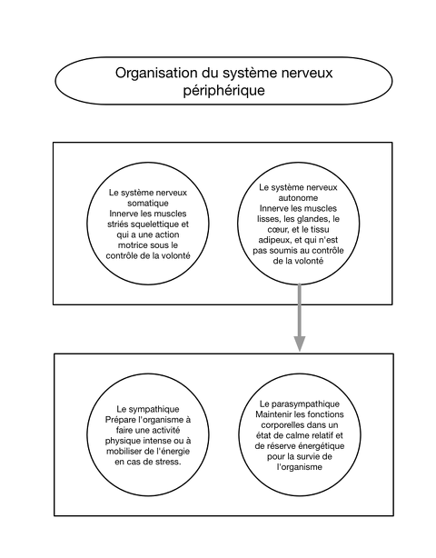 organisation du système nerveux périphérique