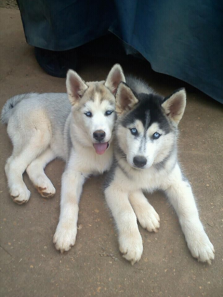 Siberian Husky Outgoing And Cheeky Siberian Husky Pinterest