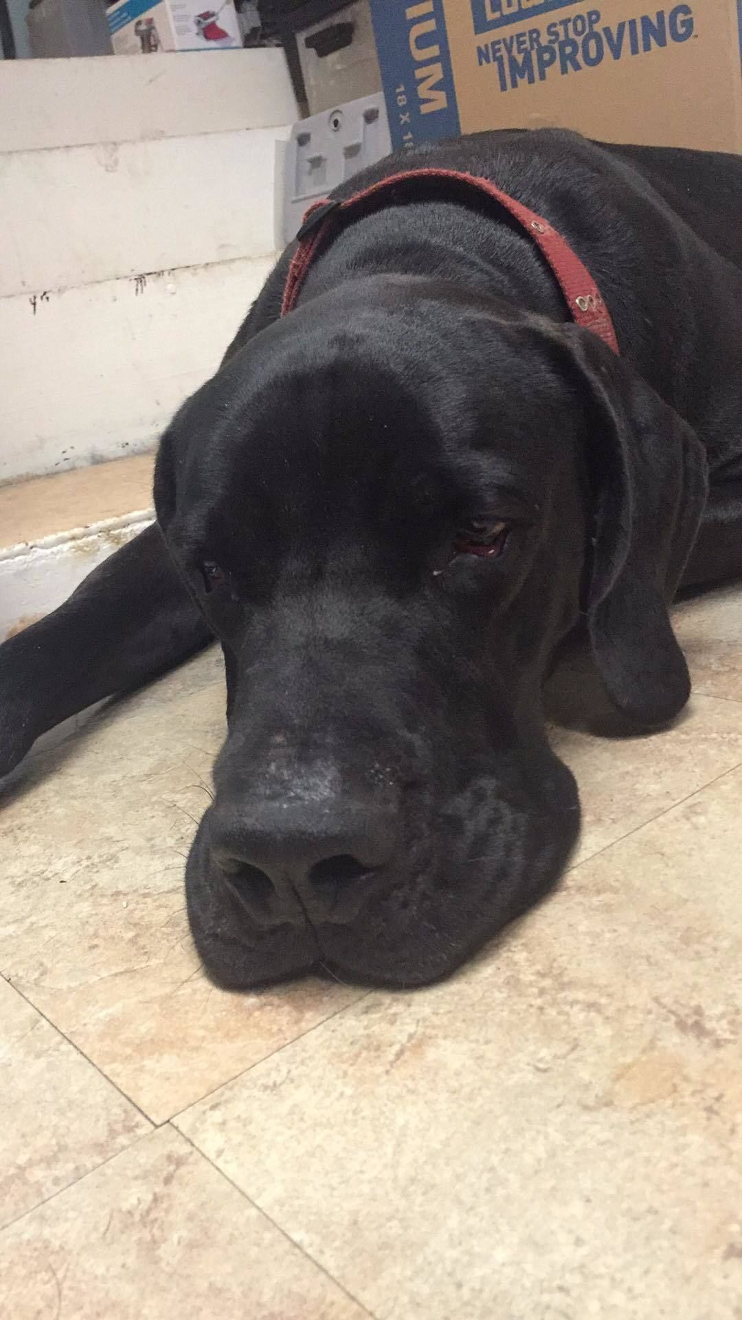 Adopt Mell on Great dane dogs, Great dane rescue, Animals
