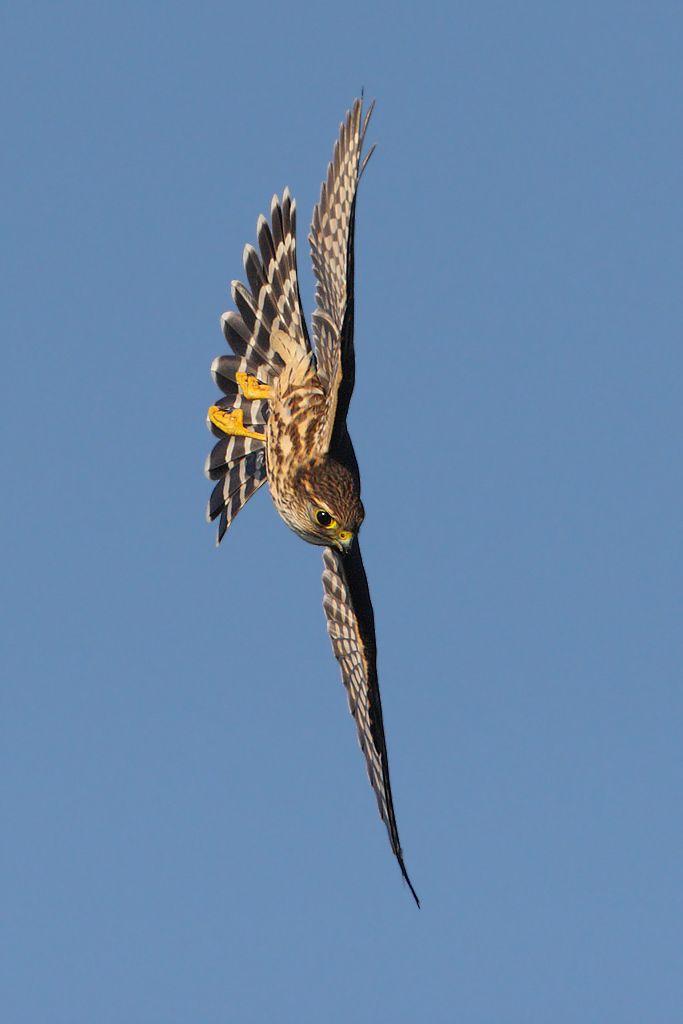 Migrating Birds of Prey 2 - Merlin (8 BIF) - Canon Digital Photography Forums