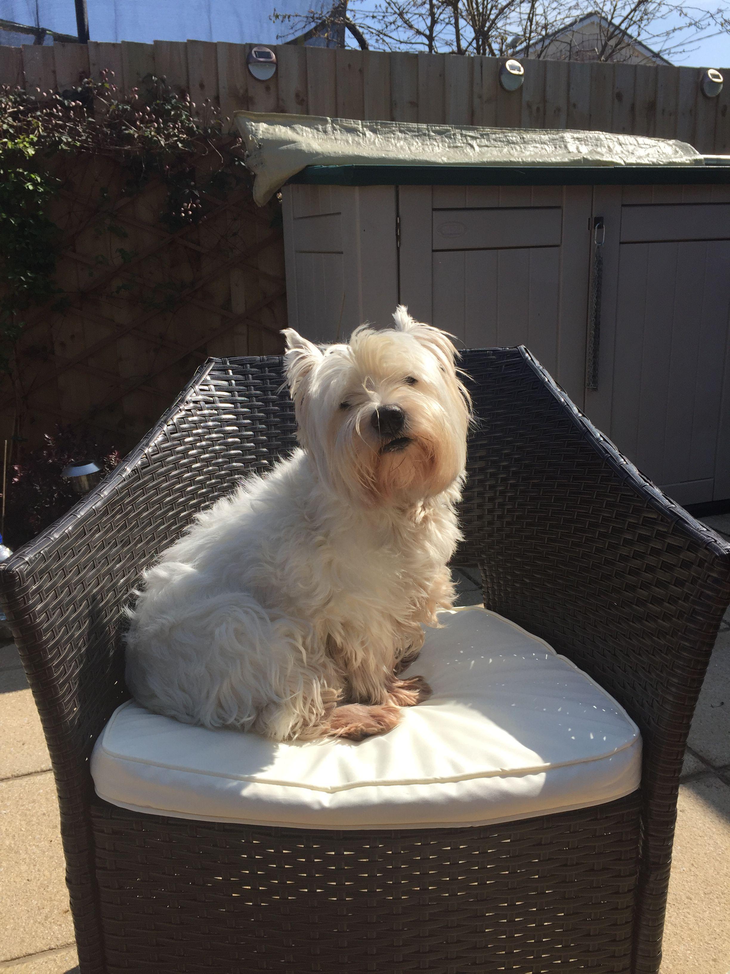 Westie Sunbathing Day 🌞 Westies, West highland terrier, Dogs