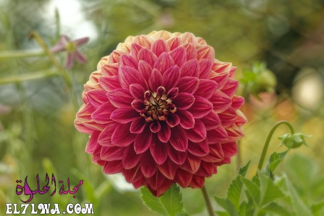 خلفيات ورد خلفيات ورود جميلة جدا خلفيات ورد طبيعي الورد من أكثر الأشياء التي ترسم البسمة وتبعث In 2021 Flower Pictures Flower Bouquet Pictures Summer Flowering Bulbs